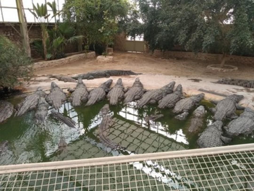 Farma krokodyli 13